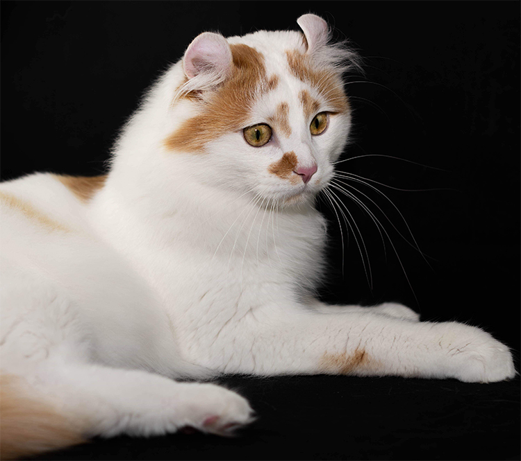 Best of Breed: American Curl Longhair Cat - Overear Storm Rolling In