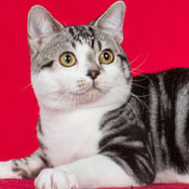 BOB American Shorthair Cat Windleaves Top Gun Of Plymouthrock THUMB