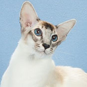 BOB Balinese Cat Kitten Synergy Altair Of Higrove THUMB