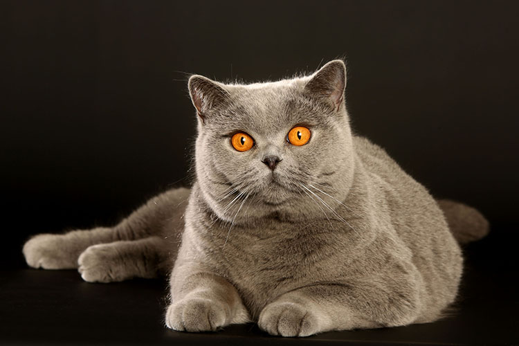 Best British Shorthair Of The Year: CONFITURE OF PHOENIX/ID