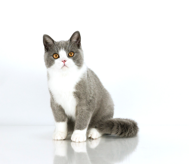 Best British Shorthair Kitten Of The Year: SILVERCHARM MANNISH BOY