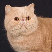 BOB Exotic Shorthair Alter Paneis Duke Venomania THUMB