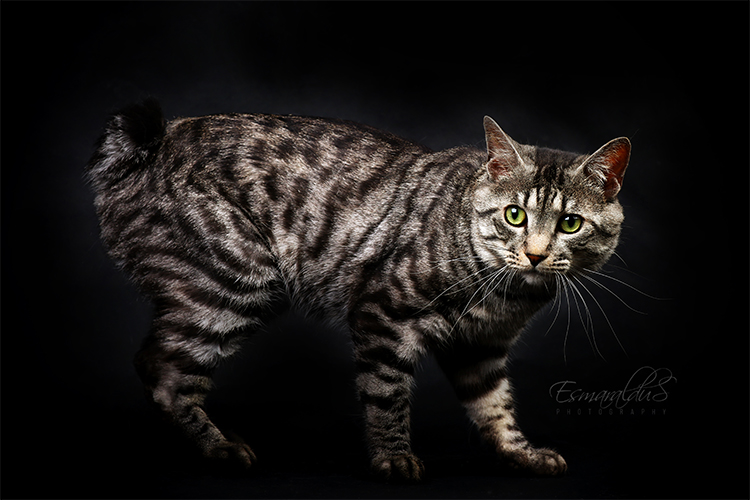 Best Kurilian Bobtail Of The Year: YUNAMARI ABREK