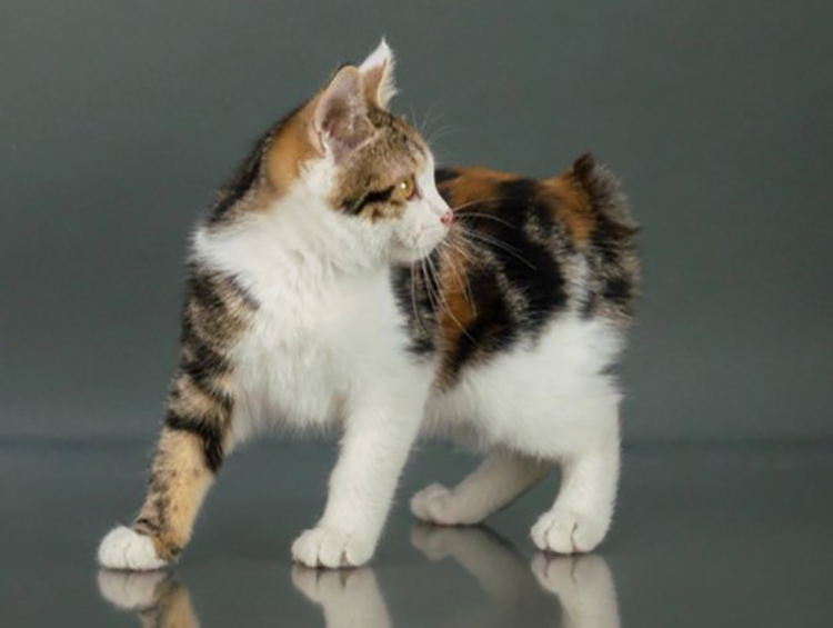 Best Kurilian Bobtail Kitten Of The Year: CATPAL SVOBODA STRATTERA