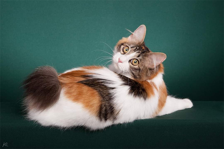 Best Kurilian Bobtail Longhair Alter Of The Year: TISIMA AYNU BLIKLYA OF AMISTI