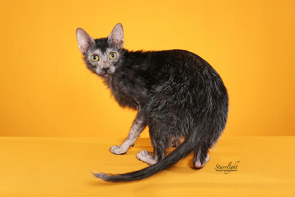 Best Lykoi Alter Of The Year: WERECATS LING LEK LEK