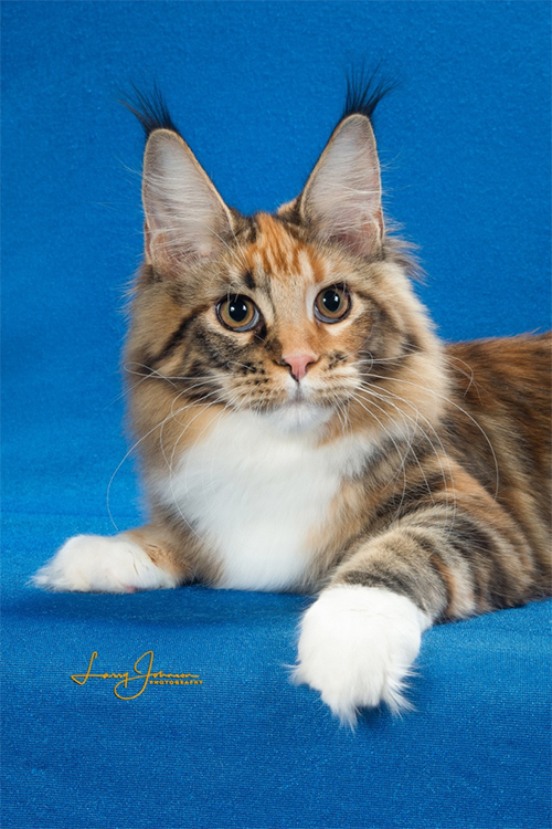 Best Maine Coon Of The Year: MTNEST PAINT TO SAMPLE