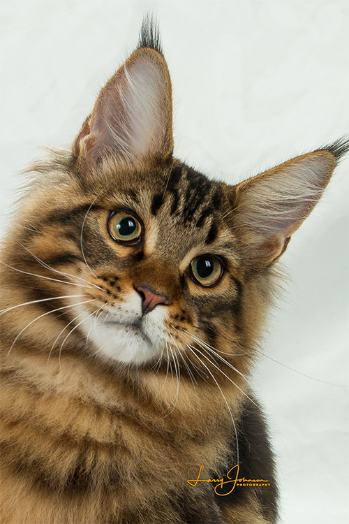Best Maine Coon Kitten Of The Year: COONAMOR WE WILL ROCK YOU