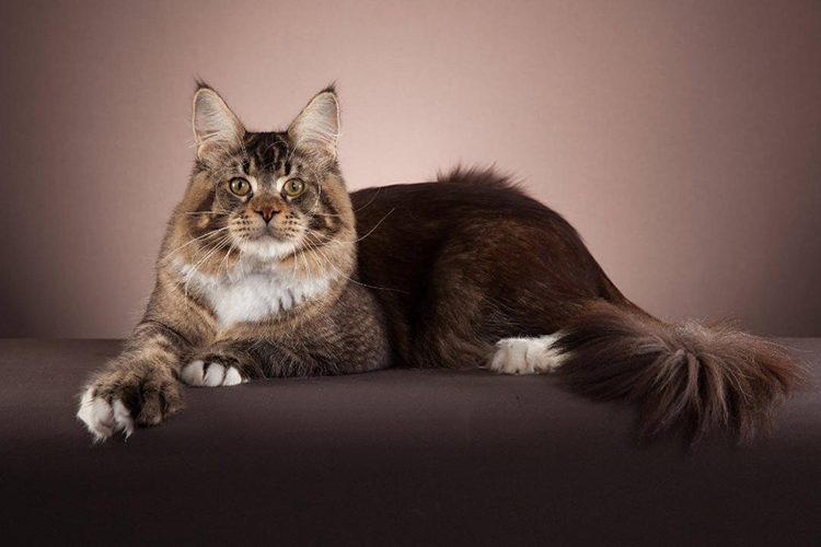 Best Maine Coon Polydactyl Of The Year: GOLDENTOWNCOON CHITOS