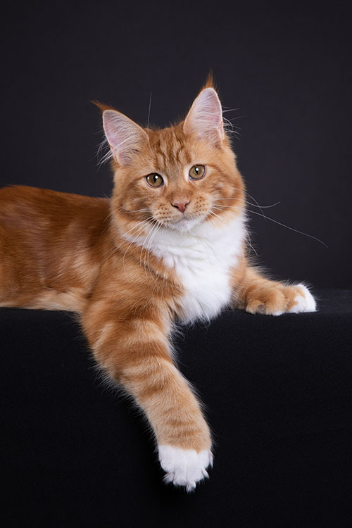 Best Maine Coon Polydactyl Kitten Of The Year: LEATHERANDLACE BUG A BOO PP