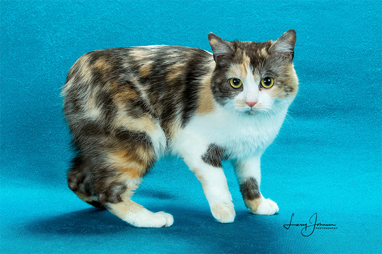 Best Manx Kitten Of The Year: FAERIETAIL ALL DOLLED UP