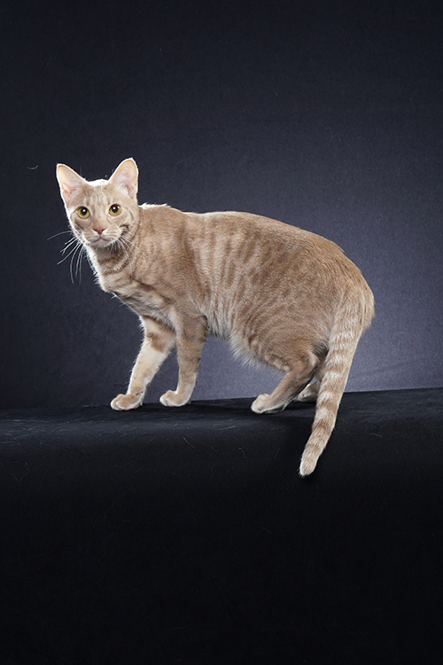 Best Ocicat Alter Of The Year: MIDNITEMOON DIVA