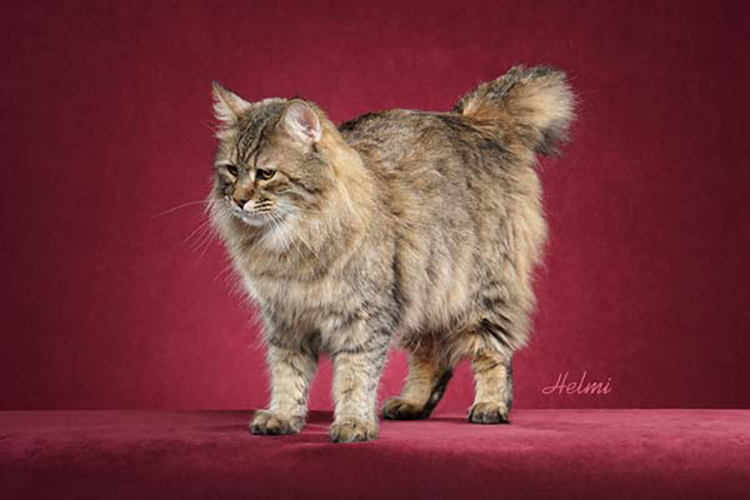 Best Pixibob Longhair Alter Of The Year: ALPINELEGEND GOLD PANNER