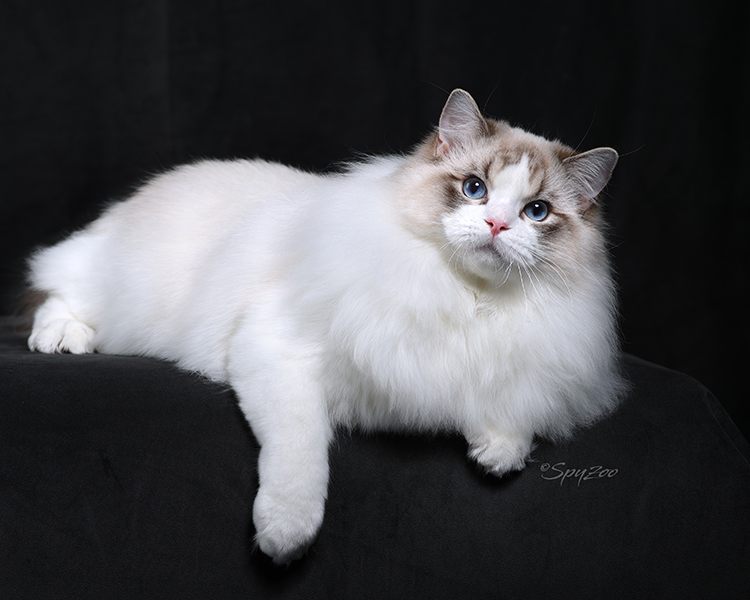 Best Ragdoll Kitten Of The Year: ELSA RAGDOLL RYAN