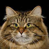 BOB Siberian Cat Cieloch Take A Chance THUMB