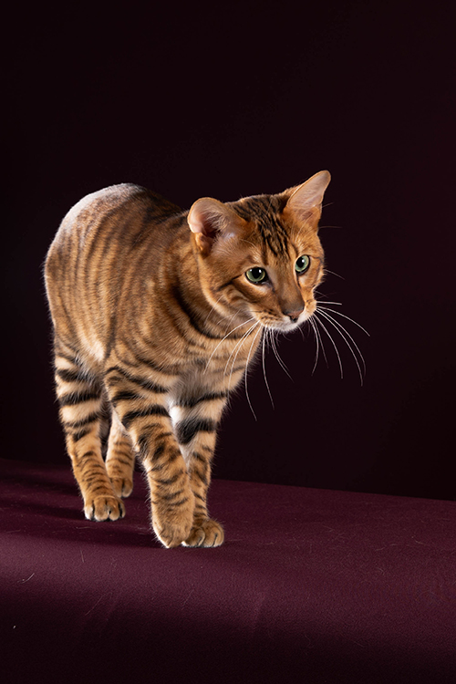Best Toyger Of The Year: TIGERVISIONS COMARO