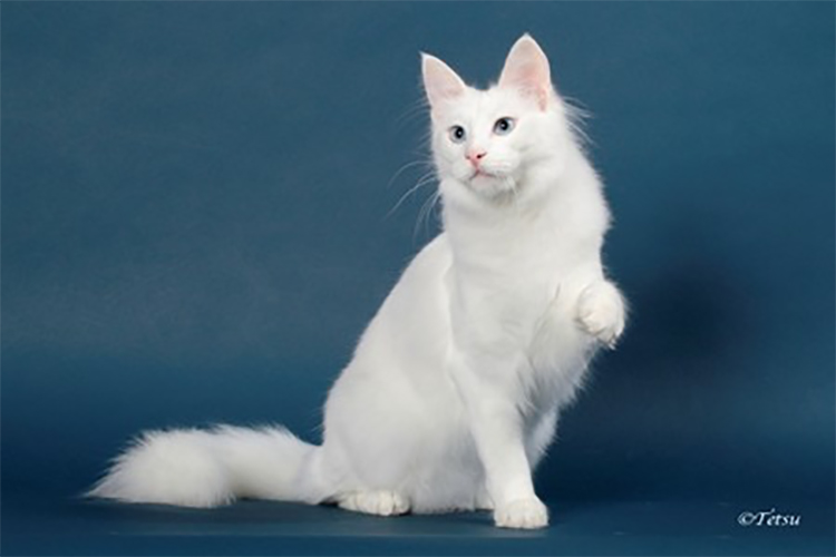 Best Turkish Angora Alter Of The Year: ETONNANT JON SNOW'S GHOST/CF