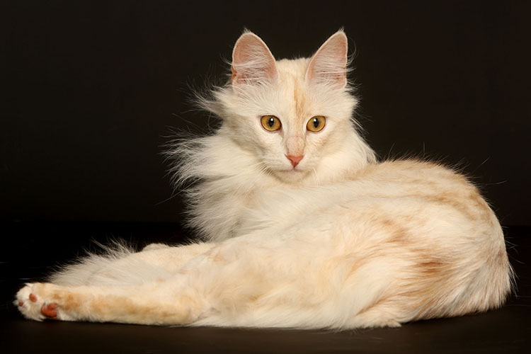 Best Turkish Angora Of The Year: HAVVANUR'S JIGGLYPUFF/ID