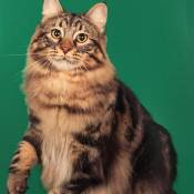 Best American Bobtail Alter Of The Year: MILEHIKATZ TONYSTARK