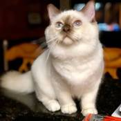 Best Birman Of The Year: STARGHATTS PRINCE NAMOR OF COMIX