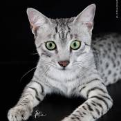 Best Egyptian Mau Of The Year: EMAUTION'S NABOPOLASSAR/LO