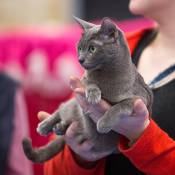 Best Korat Kitten Of The Year: PRIMPRAU'S TIA SENNA/ID