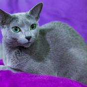 Best Russian Blue Alter Of The Year: VALNIKA LUNA FOR RUSSICATS