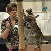 Best Savannah Kitten Of The Year: ALISTSAVANNAHS PRINCESS NINA