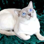 Best Tonkinese Kitten Of The Year: WORLDSTAR CHAPLIN OF CHRISTIE