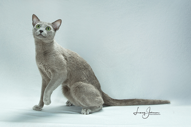 22nd Best Cat of the Year: EMERALD SNOW MAESTRO ANTIGENE/CF