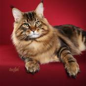 5th Best Cat of the Year: COONAMOR WE WILL ROCK YOU