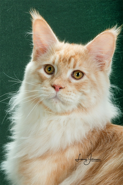25th Best Longhair Cat Of The Year: WISTARIANTALE RISING SUN