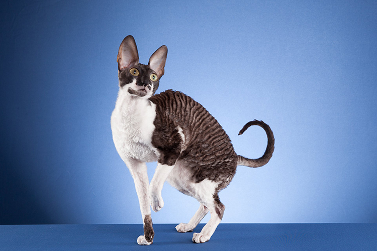 18th Best Shorthair Cat Of The Year: REXINK ANNIE LENNOX