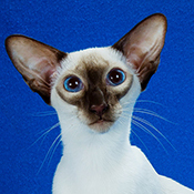 Siamese 1 Kitten Joy Cherau THUMB