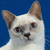 Tonkinese 1 Alter Yuengling Satimore THUMB