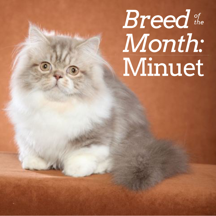 Breed of the MonthMinuet