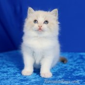 Silky-soft Ragdoll kittens available now (RIVERSIDERAGS)